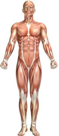 alle-spieren-in-lichaam